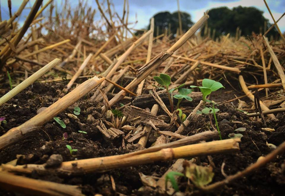 A no till cover crop emerging - building soil heath and storing carbon