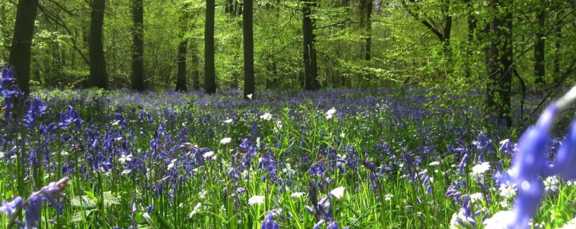Soulton Bluebell Woods